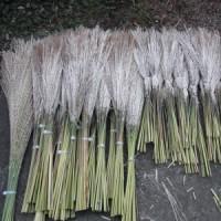 オギの穂集め-②