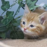 子猫/アメリカンショートヘア/ペット子猫展示中/岩沼市/亘理町/山元町