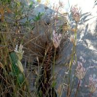アリウム・パニクラトゥム  Allium paniculatum