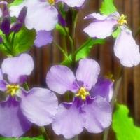 紫花菜(ムラサキハナナ)その8。