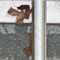 懸巣、瑠璃立羽、集団越冬する紫燕など