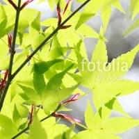 fotolia「新緑 かえで」 イメージを持って