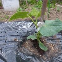 キュウリを植えました