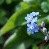 紫の小さな花・「忘れな草」 が咲いていました