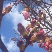 大漁桜、開花!