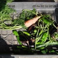 今日の収穫 サラダ菜がたくさん