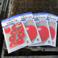 トマトの穂木(実のなる部分)の播種