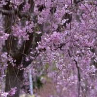 枝垂れ桜(Y邸)
