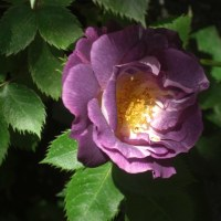 5月の薔薇  (庭いっぱいに咲きました)  No 2