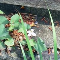 はつ夏の花たち 十薬の花