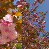 桜満開 2017