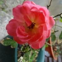 今まで咲いたことがなかったミニバラが咲いた♪