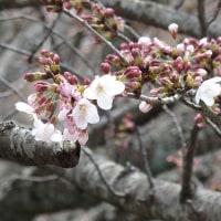 桜は蕾、紅葉の若芽。
