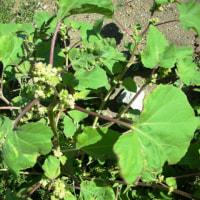 オタネ浜の花28イガオナモミ1