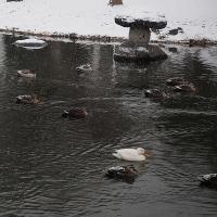 ★池に降る雪と他の池からやって来た二羽の白いカモ