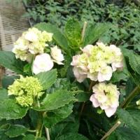 八重咲き紫陽花、レインボー