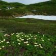 【大雪山国立公園・旭岳情報】カラスとタンポポ
