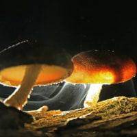 椎茸の胞子