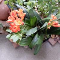 ベランダも徐々に初夏の花に…