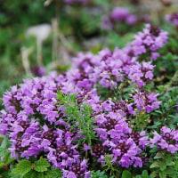 伊吹山に咲く花々