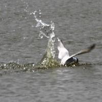 6/29探鳥記録写真(響灘ビオトープの小鳥たち:コアジサシの狩模様他)