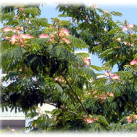 梅雨の晴れ間に…(^^♪化粧用の刷毛に似た、ピンクの花「ねむのき (合歓の木)」