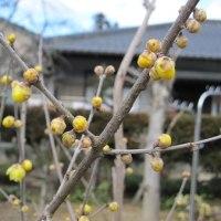 我が家の春の花は黄色から