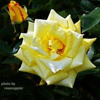 ゴールデン ハート 剣弁の整ったバラ