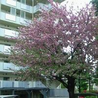 桜の花のカーテンコールは
