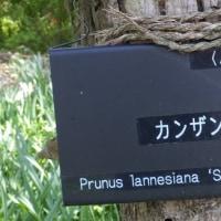 ソメイヨシノの次は八重桜