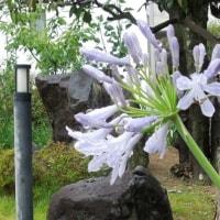 アガパンサスと姫檜扇水仙