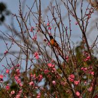 舞鶴公園にて、ジョウビタキ2/2(D810,28-300mm)
