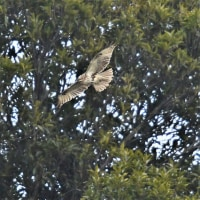 今日の野鳥  ミサゴ・ミコアイサ・ノスリ・トビ・ホオジロ