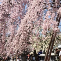 氷室神社の奈良一番桜