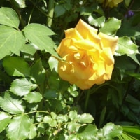 '17 ライム・ストーン花壇のバラたち;マダムイサクペレール シャルルドミル サハラ ホーム&ガーデンetc.