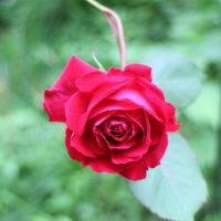 山法師と薔薇