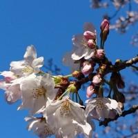 2017年・〈桜〉の初撮り!