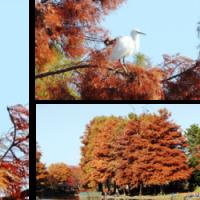 公園の杉「メタセコイア」