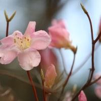 六甲山植物園の花 4月 16日 その6 アカヤシオ イカリソウ ツバメオモト