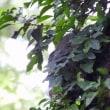 2017森のフクロウ