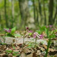 オオルリ高らかに歌う森を歩く・季節が少し巻き戻される