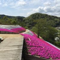 姫路の芝桜