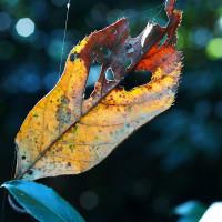 新宿御苑で見つけた枯葉