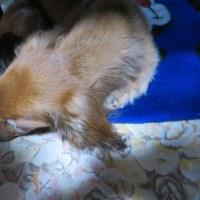サム爺 寝ぼけています