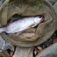 アマゴ28センチ久しぶりの大漁