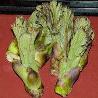 山菜の大様『たらの芽』が入荷