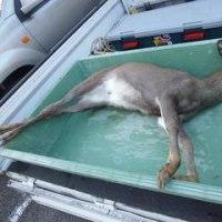 11月16日有害鳥獣捕獲「鹿」