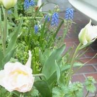やっとチューリップが咲きました~たった一泊二日の旅でも疲れる私