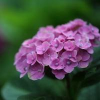 筥崎宮の紫陽花 その3