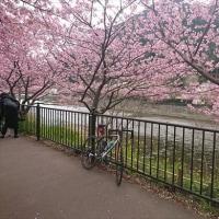 河津桜~132キロ